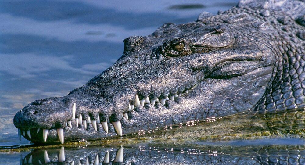 Jacaré (imagem referencial)