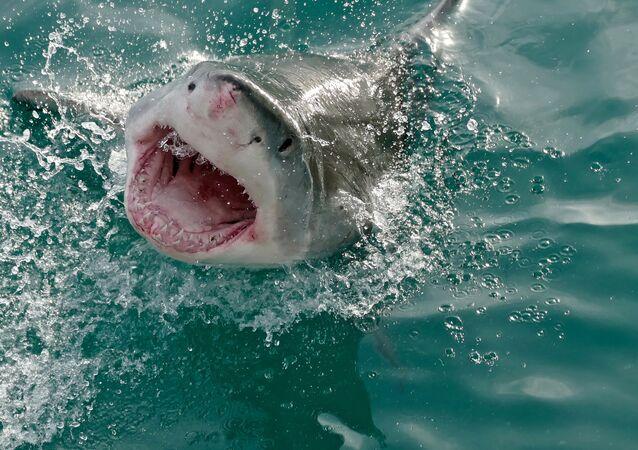 Grande tubarão-branco