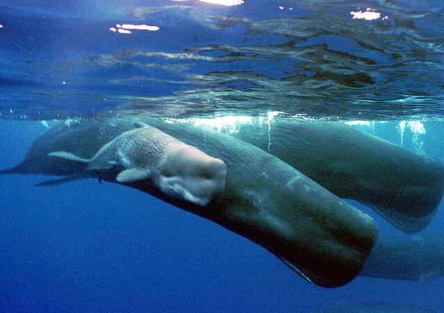 Filhote de cachalote junto com a mãe, perto do litoral de Guam
