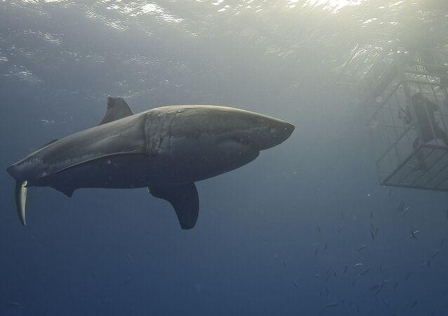 Tubarão-branco no mar