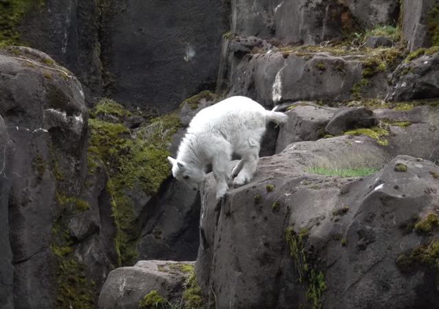 Filhote de cabra-das-rochosas no Zoológico de Oregon, em Portland