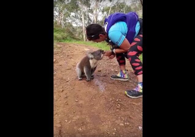 Coala pede água para corredores na Austrália