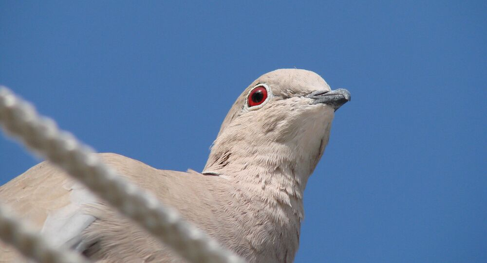 Dove (imagem referencial)
