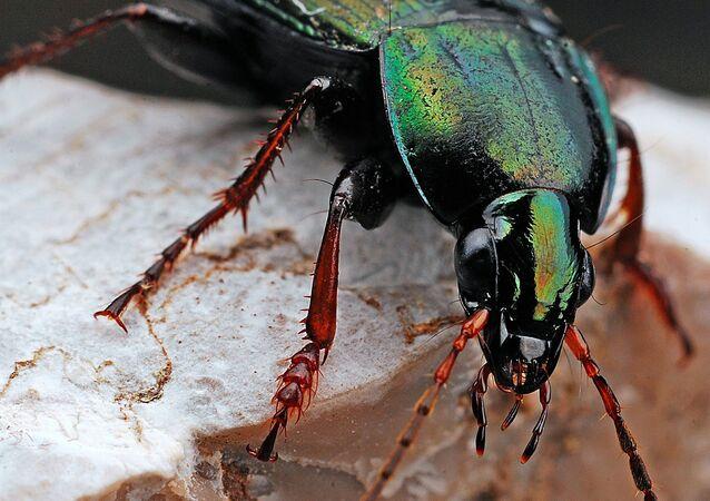 Um escaravelho