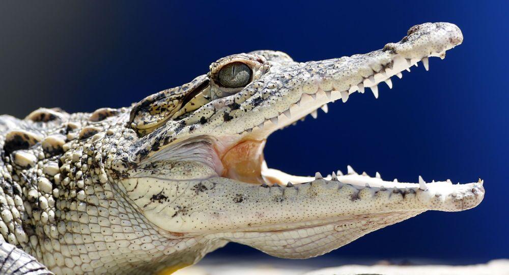 Jacaré jovem no Zoológico Nacional em Havana, em 27 de maio de 2015 (imagem referencial)