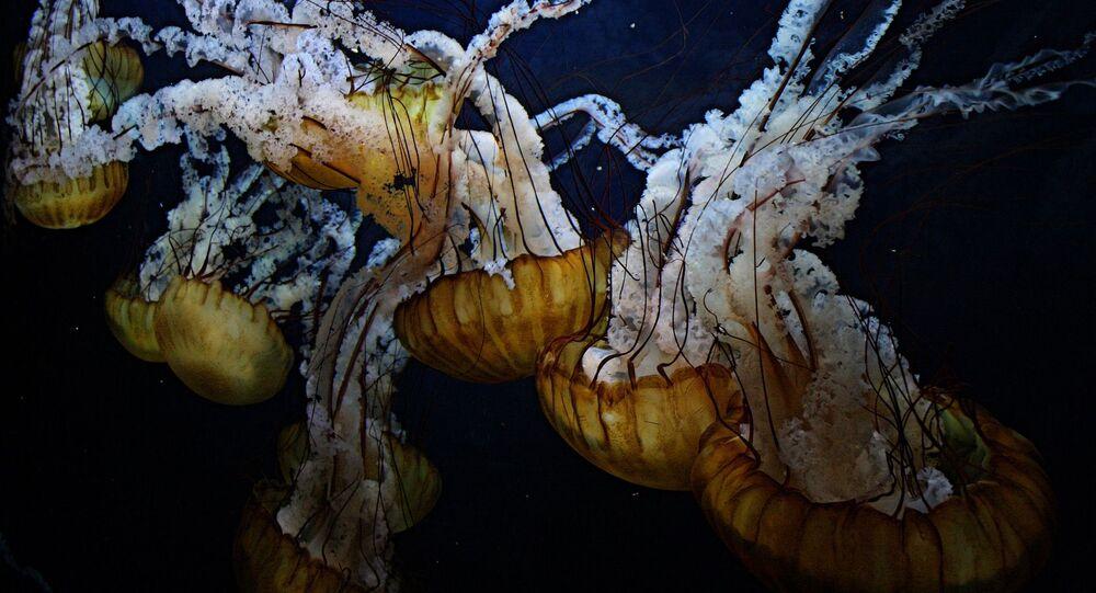 Águas-vivas (foto de arquivo)