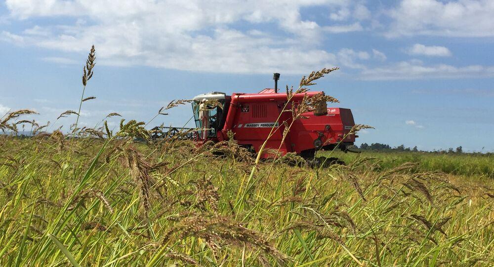 Plantação de arroz no Rio Grande do Sul