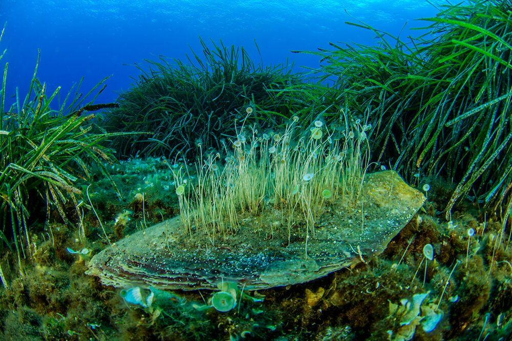 As algas verdes são parte integrante do ecossistema marinho do mar Tirreno