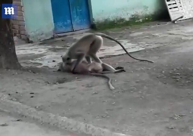 Vídeo de partir o coração mostra macaco tentando ressuscitar colega