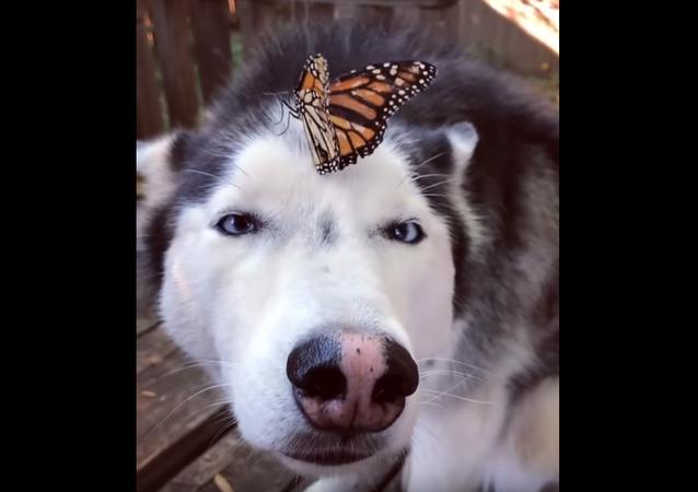 Husky com borboleta no nariz