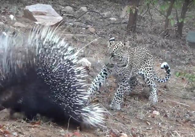 Leopardo vs. porco-espinho