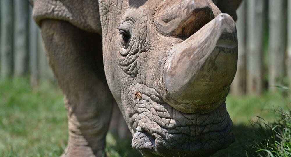 Rinoceronte branco  (foto de arquivo)