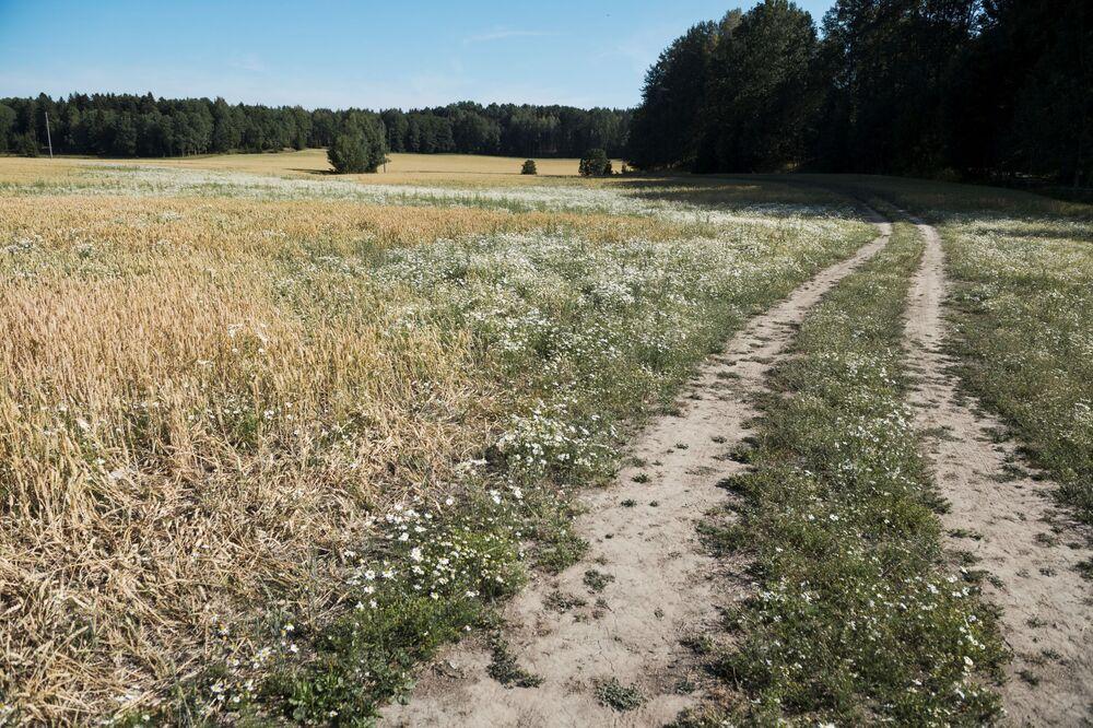 Campo de trigo na Suécia danificado pela onda de calor