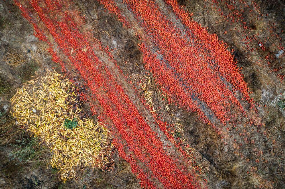 Tomates muito maduros jogados em um campo na parte ocidental da Suécia