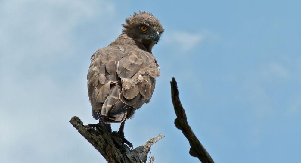 Águia-cobreira-castanha (Circaetus cinereus) (imagem referencial)