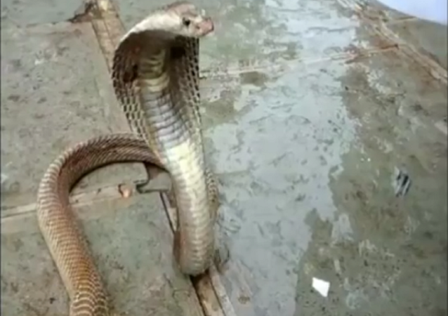Cobra venenosa surpreende indianos com desejo inesperado