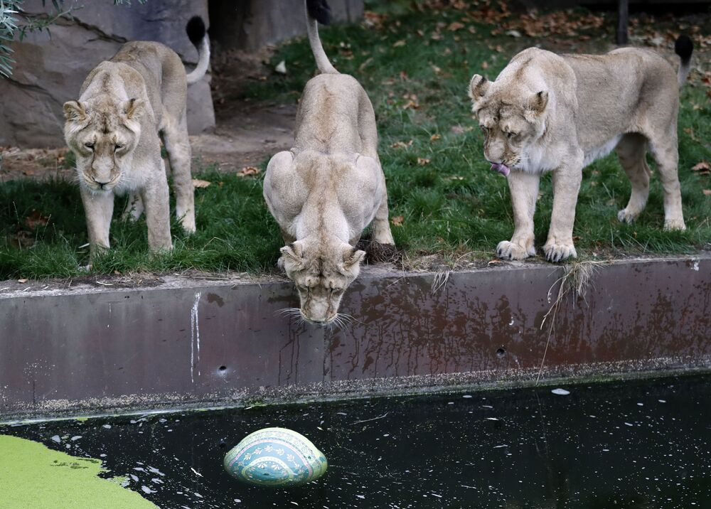 Leoas no Zoológico de Londres olham para uma bola que paira na água