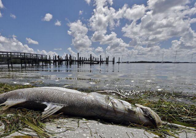 Peixe robalo-branco em uma praia americana (imagem referencial)