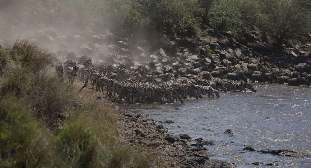 Antílopes e zebras passam o rio