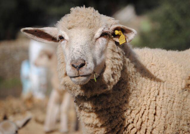 Uma ovelha (imagem referencial)