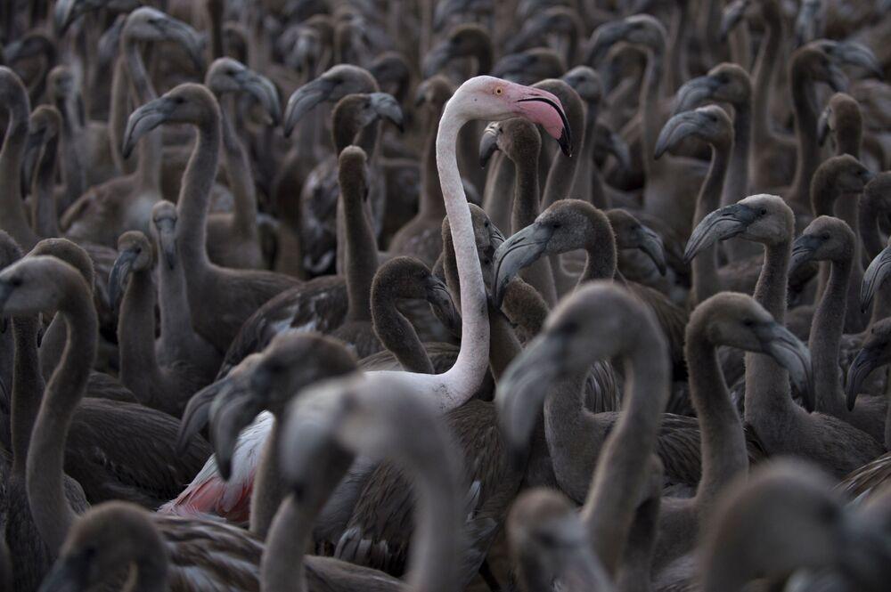 Flamingos se movendo em torno do lago Fuente de Piedra, a 70 km de Málaga, em 11 de agosto de 2018