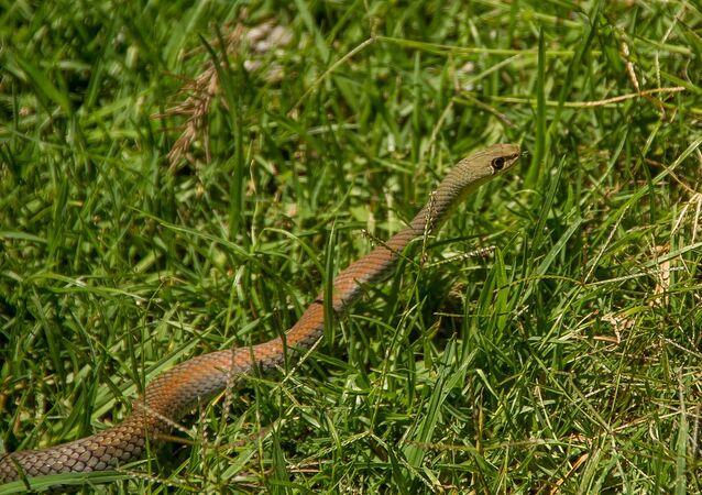 Cobras-de-cara-amarela