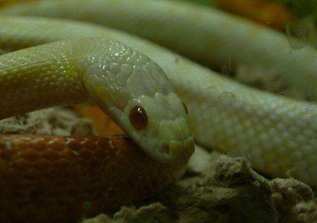 Cobra-do-milho albina (imagem referencial)