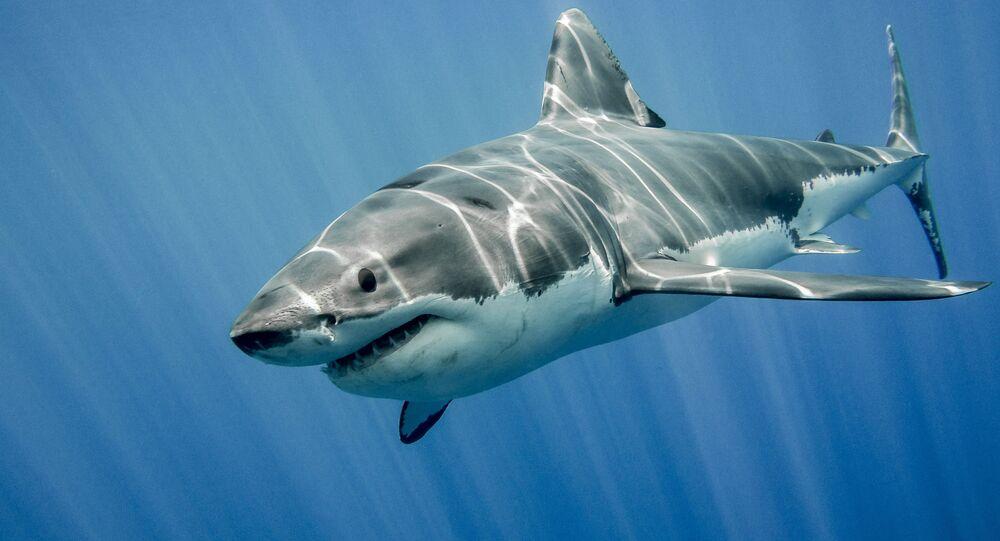 Enorme tubarão-branco (imagem ilustrativa)