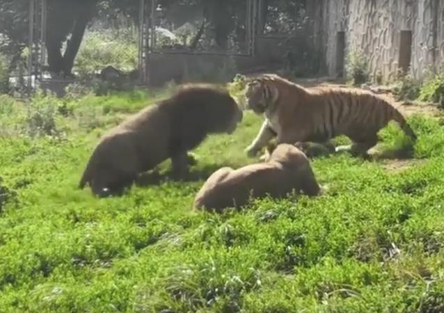 Sou eu quem manda aqui: leão faz tigre calar