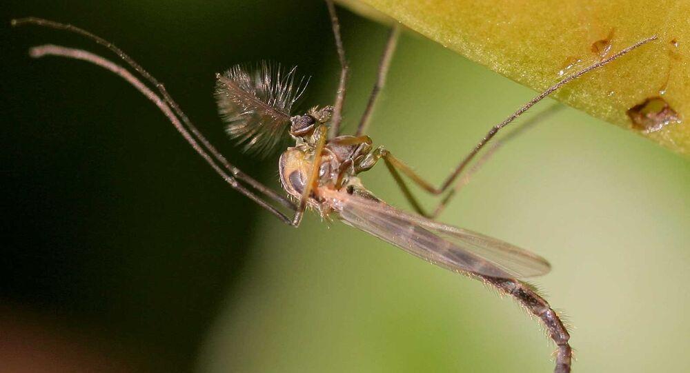 Mosquito da família Chironomidae
