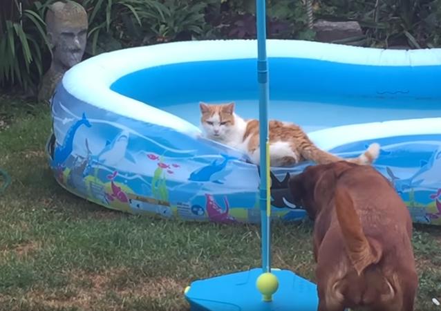Cachorro louco joga gato dentro da piscina