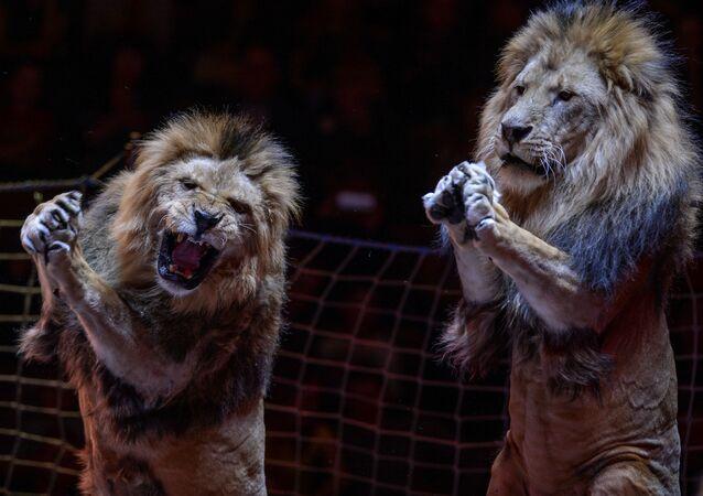 Apresentação do novo programa com leões no Grande Circo de Moscou