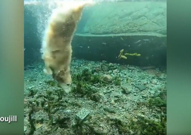 Jill, a cadela mergulhadora em ação
