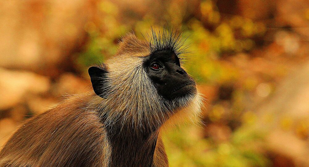 Macaca (imagem referencial)