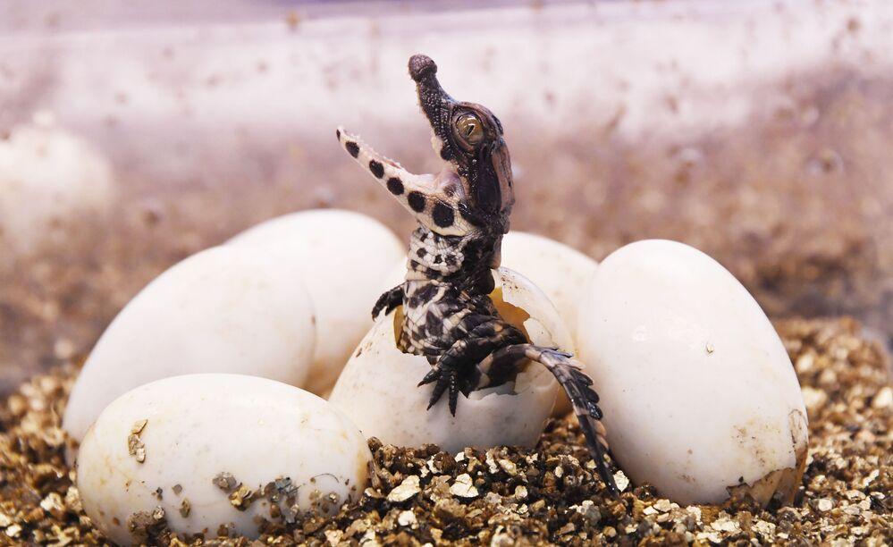 Crocodilo-anão sai do ovo no jardim botânico Planet Exotica, na França