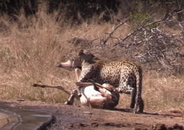 Hiena salva sem querer antílope das garras do leopardo