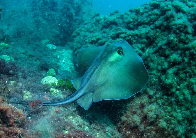 Ratão no fundo do mar perto do cabo Meganom