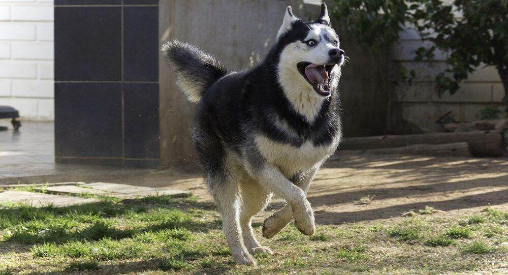 Husky siberiano correndo (imagem ilustrativa)