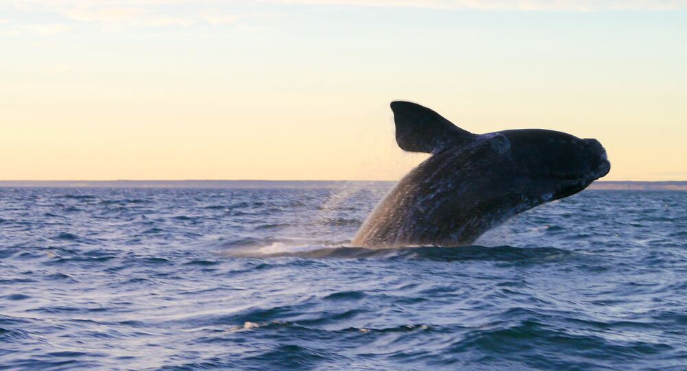 Baleia na Península Valdés, Argentina