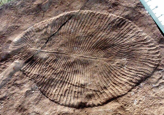 Fóssil de Dickinsonia descoberto na Austrália