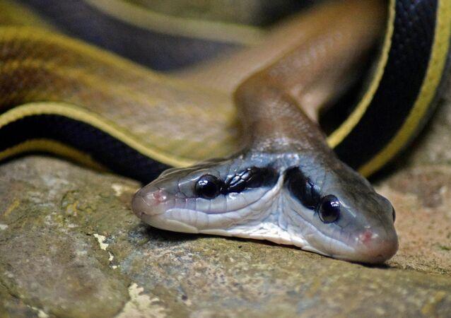 Rara serpente com duas cabeças (imagem ilustrativa)