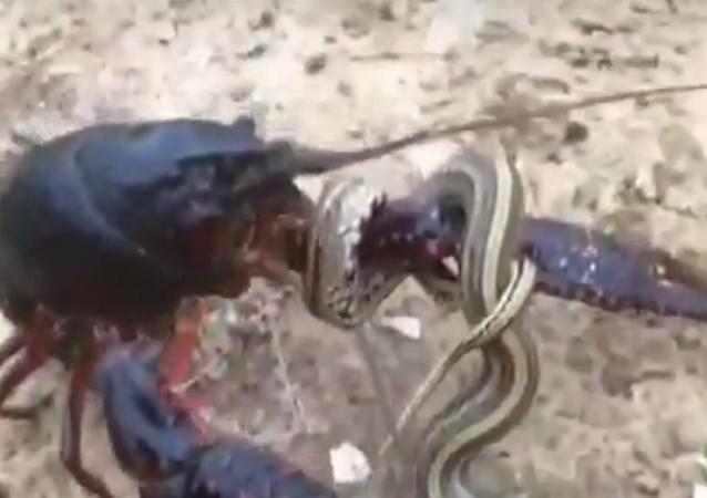 2 lagostas preparam-se para 'despedaçar' serpente (IMAGENS FORTES)