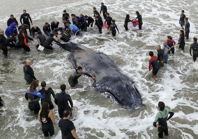 Baleia-jubarte encontrada na costa da Argentina
