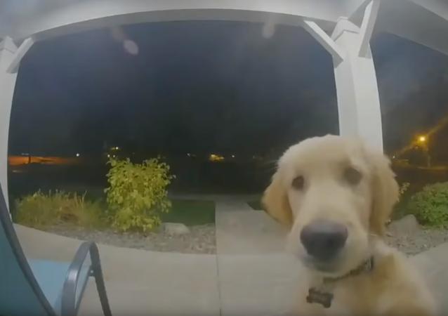 Golden Retriever toca a campainha de casa após fugir em busca de aventuras