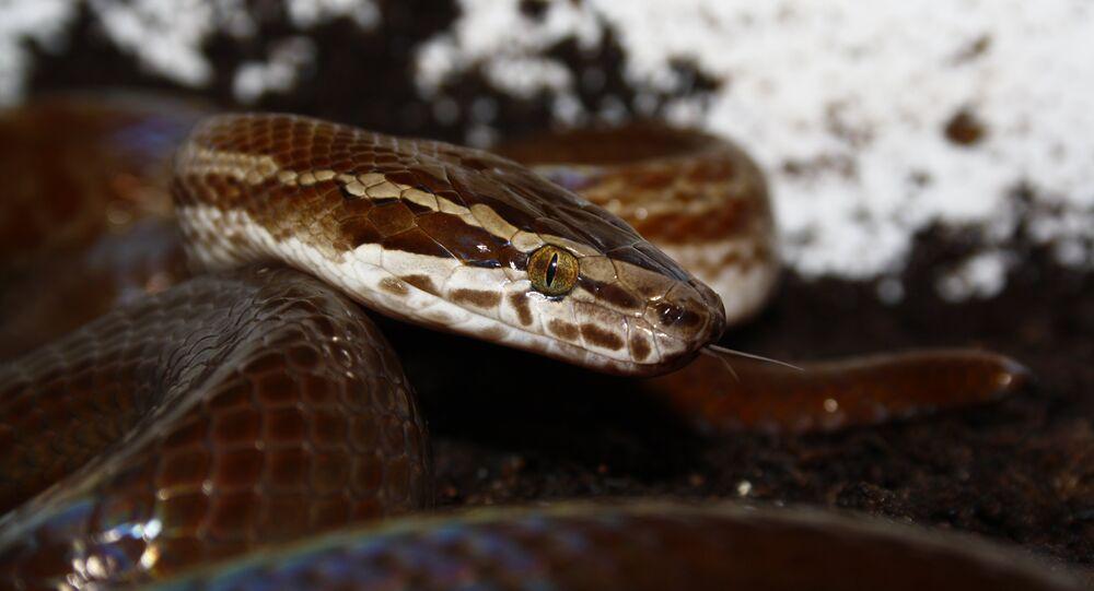 Cobra-de-casa-africana (imagem referencial)