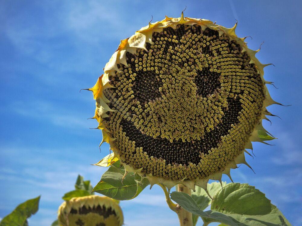 Girassol sorrindo embaixo do Sol