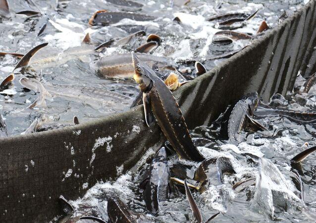 Esturjão em um lago artificial na região russa de Tambov