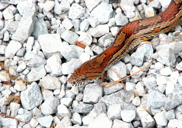 Cobra do milho (imagem referencial)