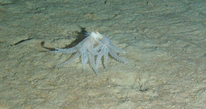 Coral mole Anthomastus robustus a uma profundidade de 3.931 metros
