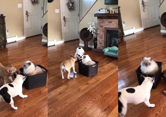 Cachorros brincam com gato na sala de casa